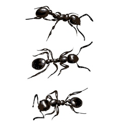 Black ants isolated on white background vector