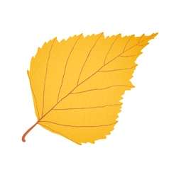 Yellow gold birch leaf as autumn symbol vector