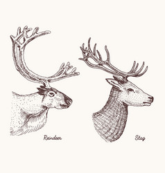 reindeer and stag deer hand drawn vector image vector image