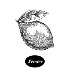 Hand drawn sketch style fresh lemon vector