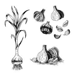 Hand drawn set of garlic sketch vector