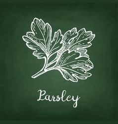 Chalk sketch of parsley vector