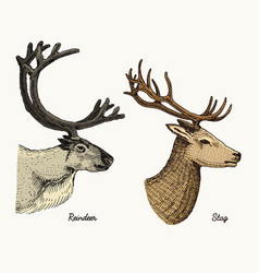 Reindeer and stag deer hand drawn vector