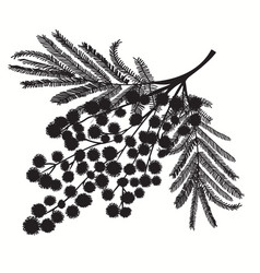 Hand-drawn branch of mimosa black silhouette on vector