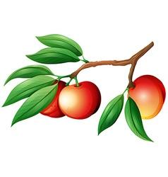 Fresh nectarine on the branch vector