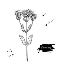 Centaury drawing hand drawn herb sketch vector