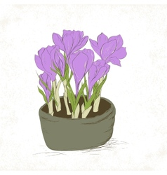 Crocus spring flowers vector