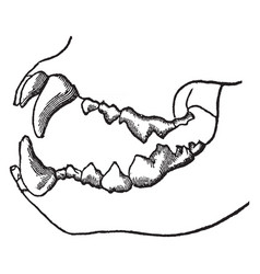 Teeth of a carnivorous animal vintage vector