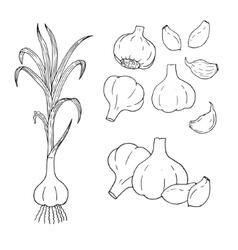 Hand drawn set of garlic contour vector