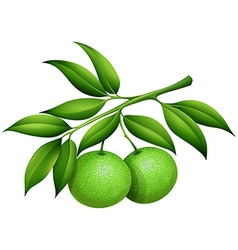 Fresh limes on the branch vector