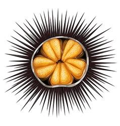 Urchin vector