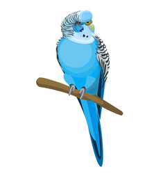 budgerigar common or shell parakeet informally vector image