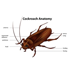 Cockroach anatomy vector