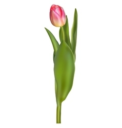 Beautiful realistic tulip isolated EPS 10 vector image