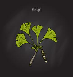ginkgo biloba ginkgo or maidenhair tree vector image
