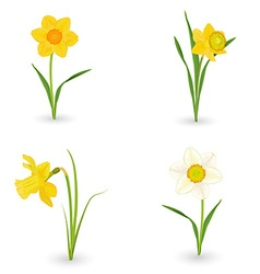 Collection lovely daffodils spring flowers for vector