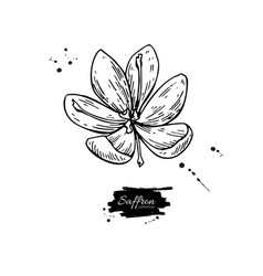 Saffron flower drawing hand drawn herb and vector