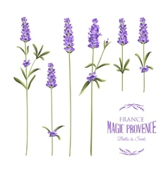 Set of lavender vector
