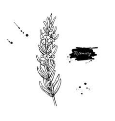 Rosemary drawing hand drawn blooming herb vector