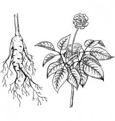 ginseng panax vector image