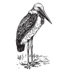 Greater adjutant or ciconiidae vintage engraving vector