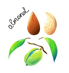 bright cartoon almond vector image