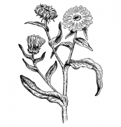 calendula vector image