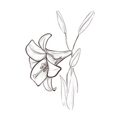 lily sketch drawing of a flower vector image vector image