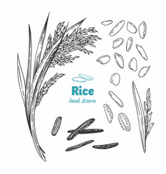 Rice hand drawn vector