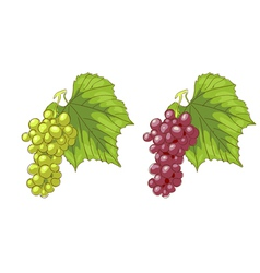 White and pink grapes vector