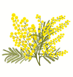 Hand-drawn branch of mimosa isolated on white vector