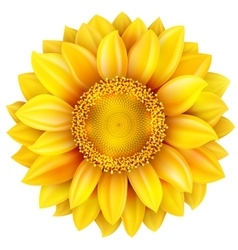 Sunflower high quality EPS 10 vector image