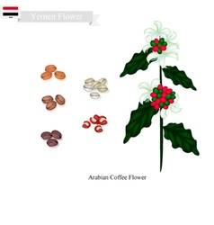 Coffea arabica flowers national flower of yemen vector