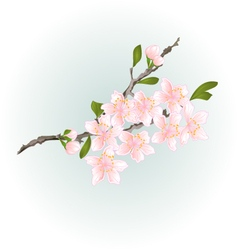 Sakura cherry branch pink flower with leaves vector