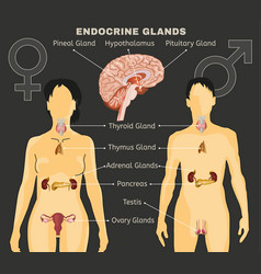 endocrine system image vector image vector image