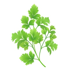 Twig of parsley vector image