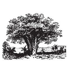 Baobab vintage vector