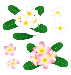 white and pink plumeria frangipani isolated vector image