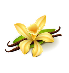 vanilla isolated on white vector image vector image