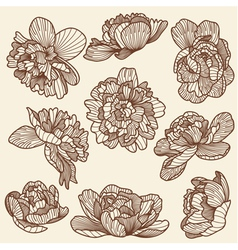 Peony drawings set vector