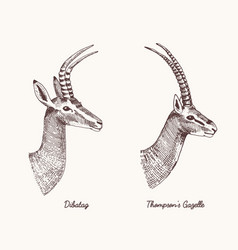 antelopes dibatag and thompsons gazelle vector image