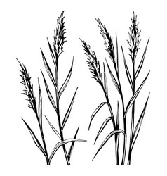 hand drawn sketch of the reed isolated on white vector image vector image