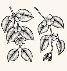 Coffee branch vector