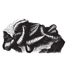 Mussel shells vintage vector