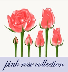Pink rose collection vector