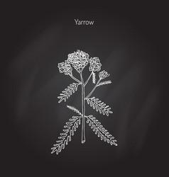 Achillea millefolium or yarrow medicinal plant vector