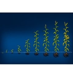 Maize development diagram stages of growth vector