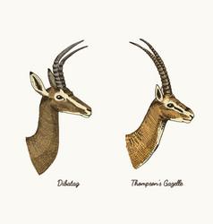 Antelopes dibatag and thompsons gazelle vector