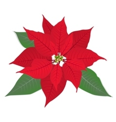 Red flower poinsettia on white vector