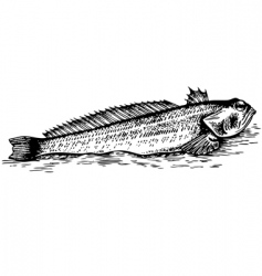 fish trachinus vector image
